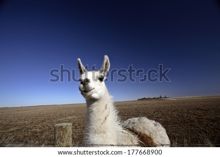 Llama (Lama glama) is a large camelid native to South America - stock photo
