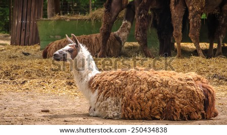 Llama Lying Down in a zoo - stock photo