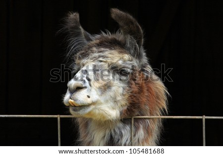 Llama on a fence.  An amorous Llama watches people nearby while resting it's chin on a wire fence. - stock photo