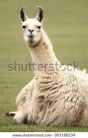 Llama's gaze - stock photo