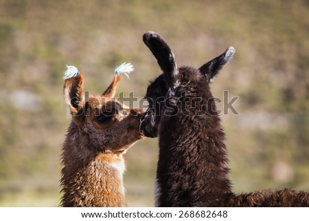 Llama spotted in Bolivia - stock photo
