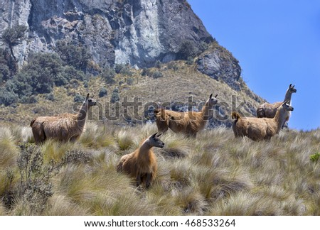 Llamas in high planes on Andes Mountains, Ecuador