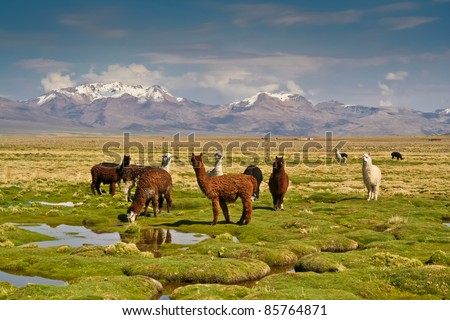 Llamas on grassy Bolivian altiplano with Andean volcanoes behind - stock photo
