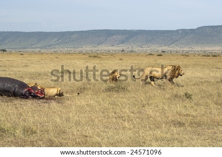 Llioness (Pathera leo) enjoying fresh hippo meat while  two male lions  retired