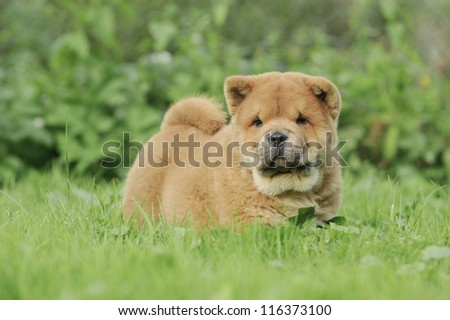 Llittle Chow chow  puppy portrait in garden - stock photo