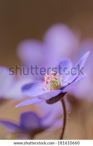 Lliverwort (Anemone hepatica ) - with perfect macro details on steamens - stock photo