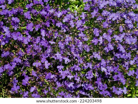 Lobelia - stock photo