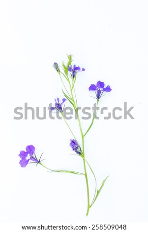 Lobelia flowers on white  - stock photo