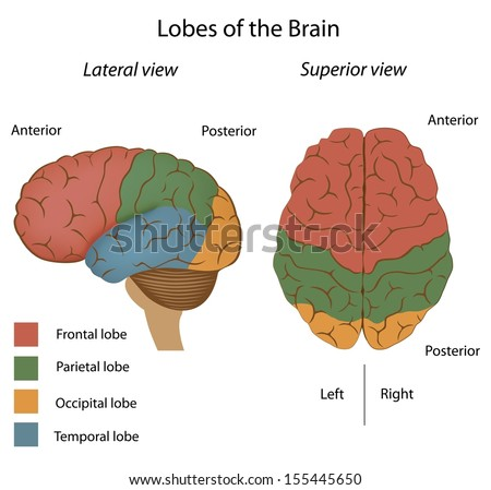 Lobes of the brain - stock photo