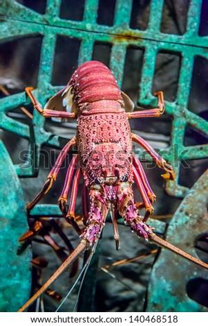 Lobster alive underwater detail view in an aquarium - stock photo