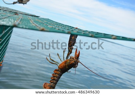 Lobster hanging from a trap before being dropped back into the sea. One claw gripping the wire.