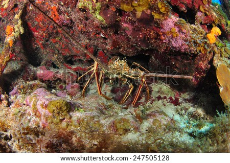 Lobster in the reef, Grand Cayman - stock photo