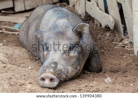 Local pigs are in pigsty of northeast of Thailand - stock photo