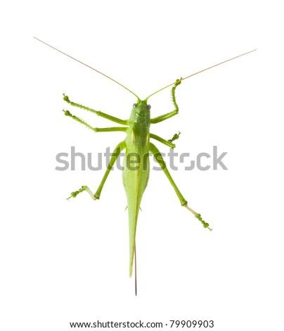 Locust isolated on white background - stock photo