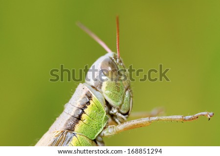 locusts on green leaf in the wild, closeup of photo