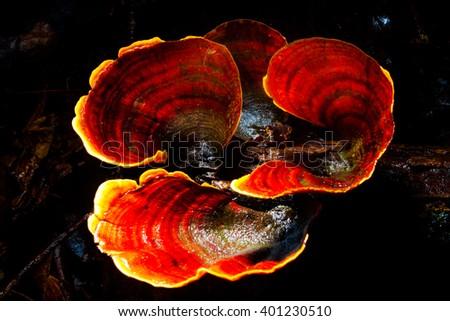 log mushroom, group of orange red mushroom grow on moss log in r - stock photo