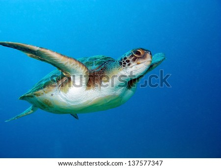 Loggerhead sea turtle, Caretta caretta, in Tenerife, Spain.