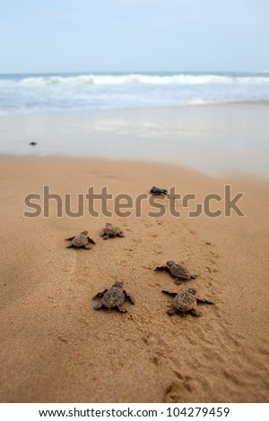 Loggerhead sea turtle emergence: the turtles emerge in a group and proceed to crawl down the beach to the water