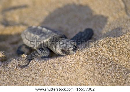 Loggerhead Turtle baby(Caretta carretta) - stock photo