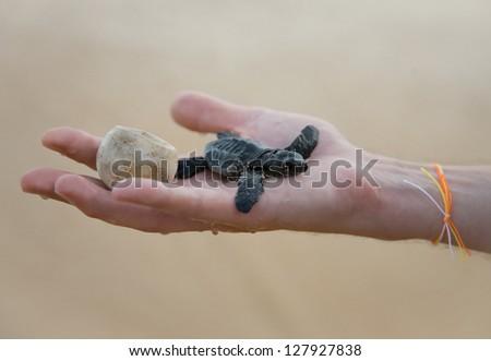 Loggerhead Turtle baby(Caretta carretta) and egg on hand - stock photo