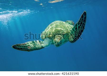 Loggerhead Turtle - Caretta caretta  - stock photo