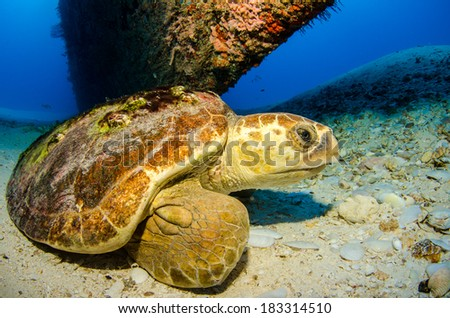 Loggerhead turtle, Caribbean sea. - stock photo