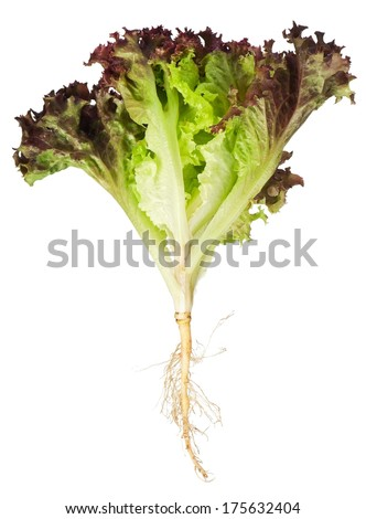 Lettuce Plant Stock Images, Royalty-Free Images & Vectors ...  Lettuce Plant S...