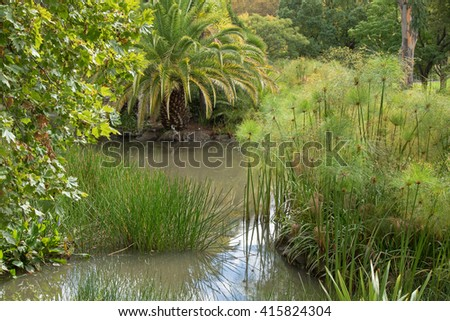 London Plane tree, common spike rush, cyperus papyrus, pickerelweed, and other aquatic plants growing in water in the garden, Australia - stock photo