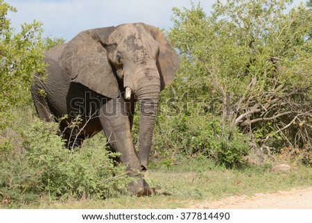 Lone African elephant bull with one tusk emerging from the bush into a clearing - stock photo