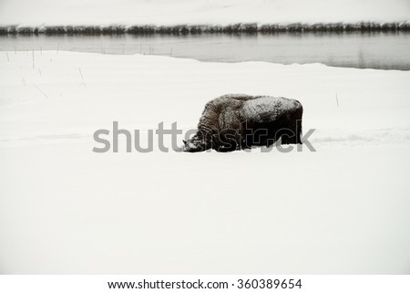 Lone American bison bull in snowing Yellowstone National Park in winter - stock photo