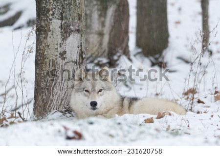 Lone Arctic Wolf in a winter scene - stock photo