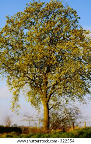 Lone Ash Tree (Fraxinus excelsior)standing in field - stock photo