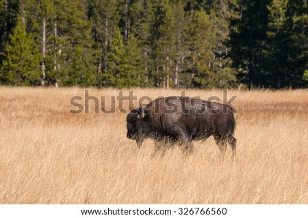 Lone bison in a grassy field in Yellowstone National Park Wyoming. - stock photo