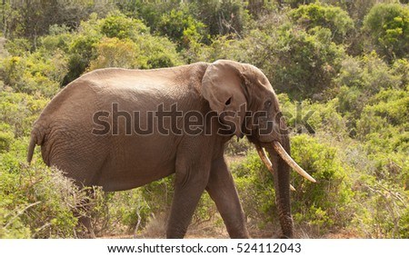 Lone bull elephant, known as a tusker, with striking ear damage wandering through the Addo National Park, Eastern Cape South Africa