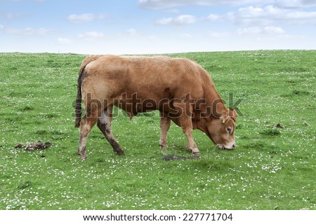 lone bull feeding on the green grass of county Kerry Ireland on the wild atlantic way - stock photo