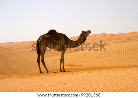 Lone camel in omani desert during scorching weather - stock photo