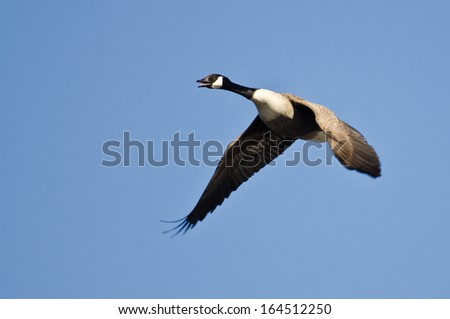 Lone Canada Goose Flying in Blue Sky - stock photo