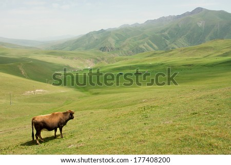 Lone cow grazing in a valley with green grass between the mountains of Central Asia - stock photo
