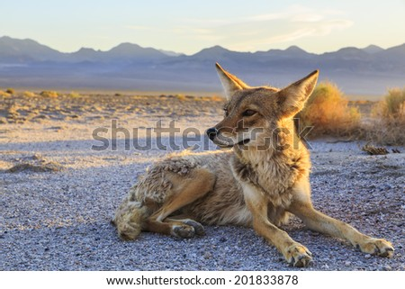 Lone Coyote settling in at Bad Water, Death Valley National Park - stock photo