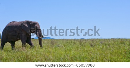 Lone Elephant walking across green grassy plains in Africa