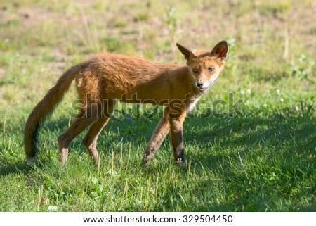 Lone fox pup in a green grassy field