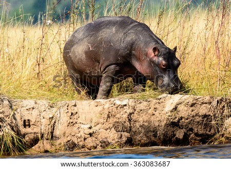 Lone Hippo grazing on the banks of the Chobe river