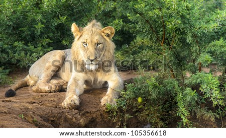 Lone Lion early morning in Madikwe - stock photo