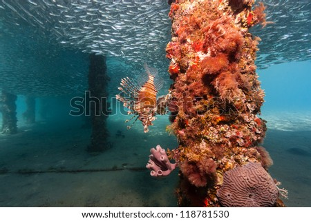 Lone lionfish hunting silverside bait fish underneath a manmade jetty in the Red Sea - stock photo