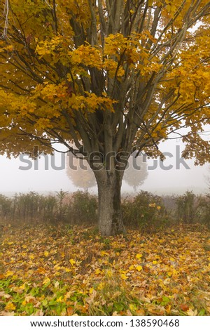 Lone maple tree during fall foliage, Stowe Vermont, USA - stock photo