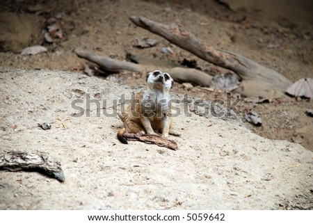 Lone meerkat sitting on the ground, staring up at the sky, at the Memphis Zoo. - stock photo