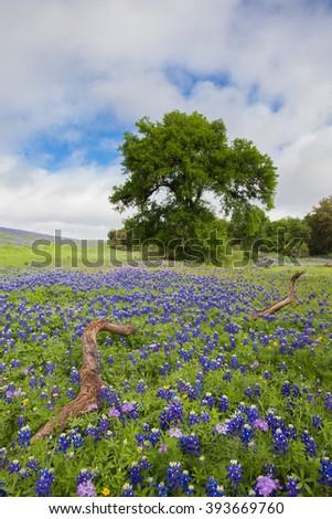 Lone Oak in a Field of Texas Bluebonnets - stock photo