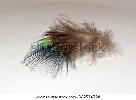 Lone Peacock Feather on Plain Background