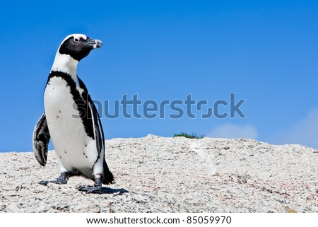 Lone Penguin on Rock
