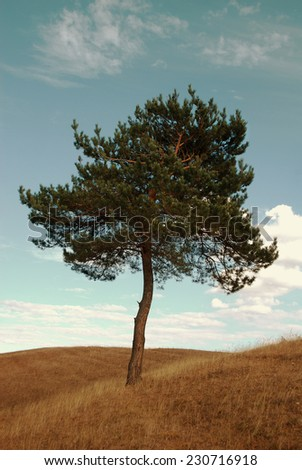 Lone Pine on the hill - stock photo